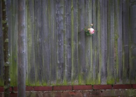 Late flowering rose that pushed its way through a fence